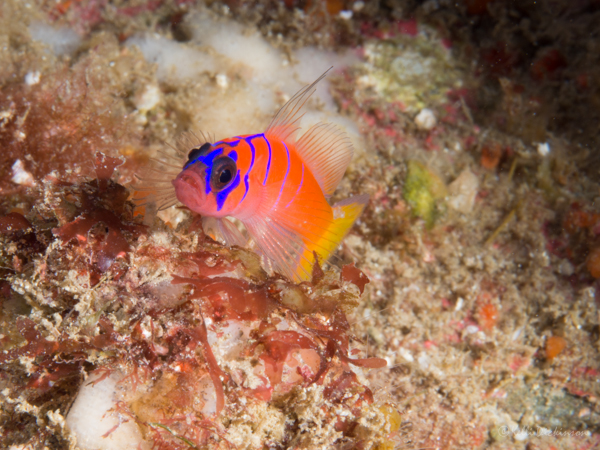 BB-Goby
