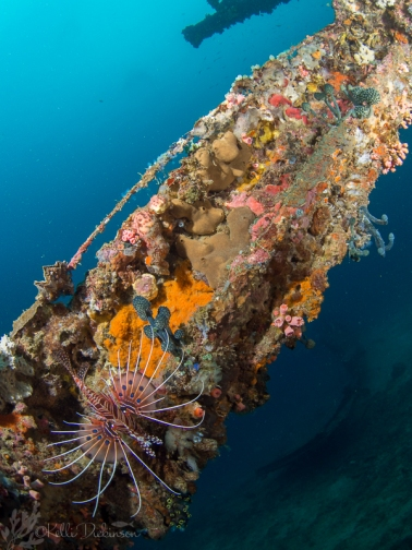 A lionfish swims over a beam on the shipwreck.