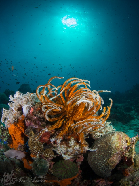 A colorful Crinoid sits atop the reef.