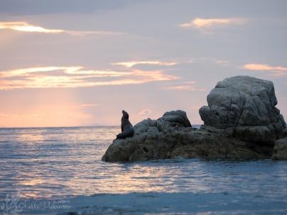 Sealion at sunset