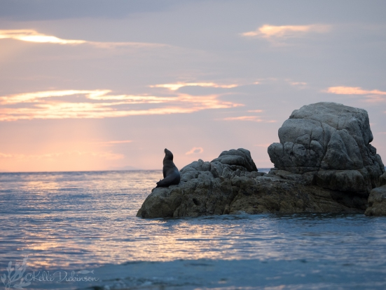 Sealion at sunset