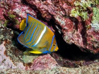 Cortez Angelfish