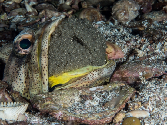 Giant Jawfish with Eggs