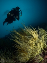 Diver with Black Coral
