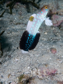 Bluespotted Blenny